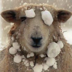 wintersheep